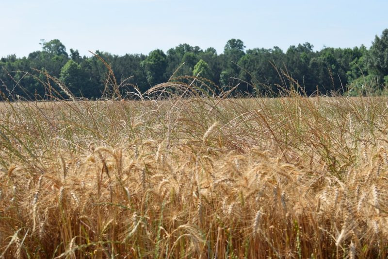 Italian Ryegrass in a wheat field at harvest.